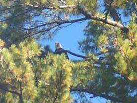 An Eagle Which we see almost every day in a huge Pine tree out in front of our place. We call the eagle 'Eddie the eagle' as he has been around our home for almost 15 years. Every year he brings more family to our sky.