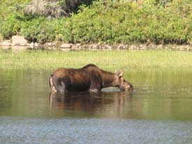 In the morning and evening you often see moose near the river