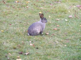 Grady, one of many rabbits wild on our grounds